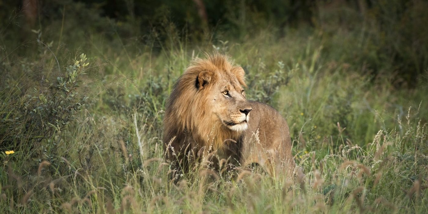 male lion laying down in the green grass looking out into the distance in madikwe