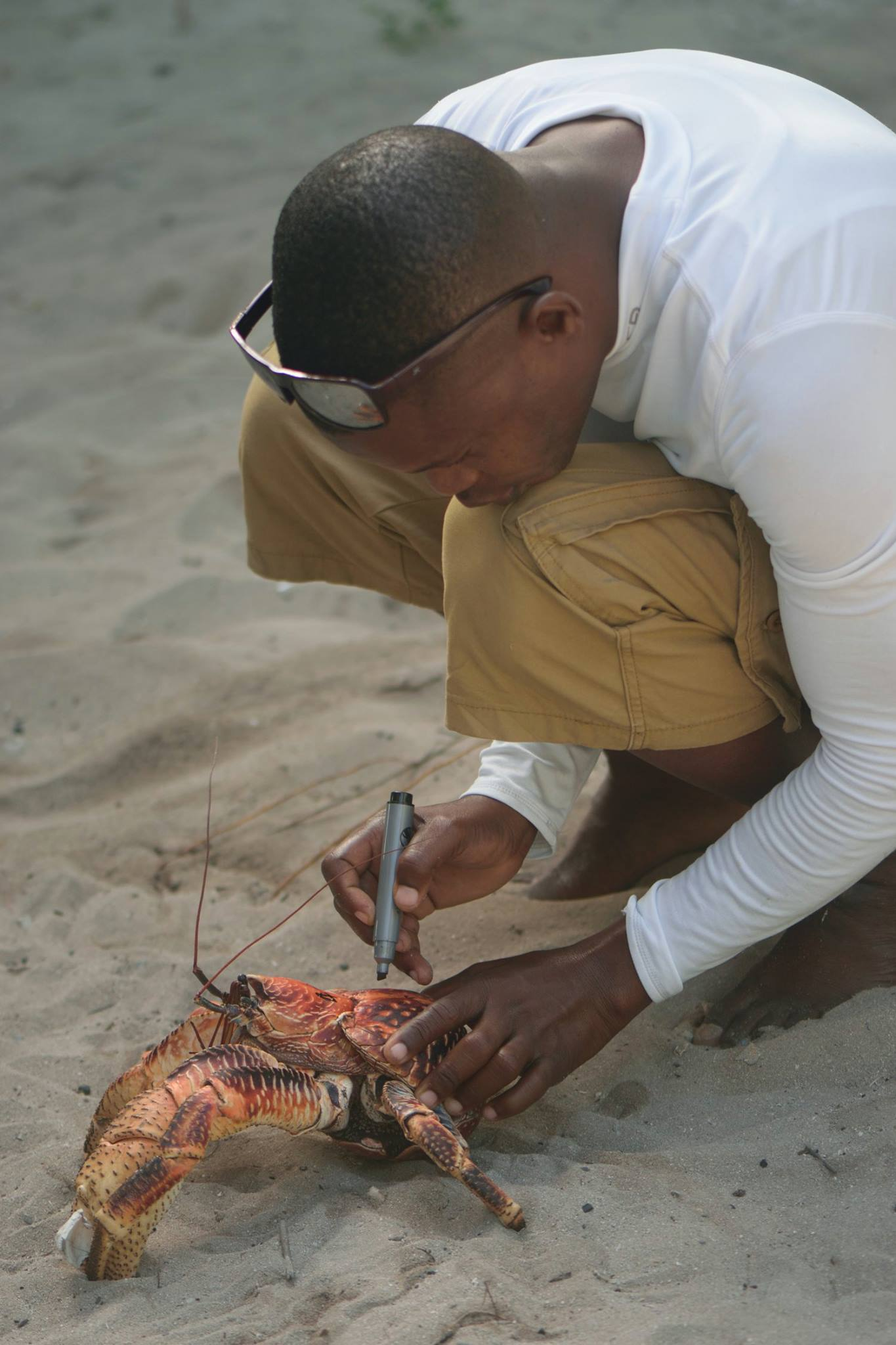 Measuring a coconut crab