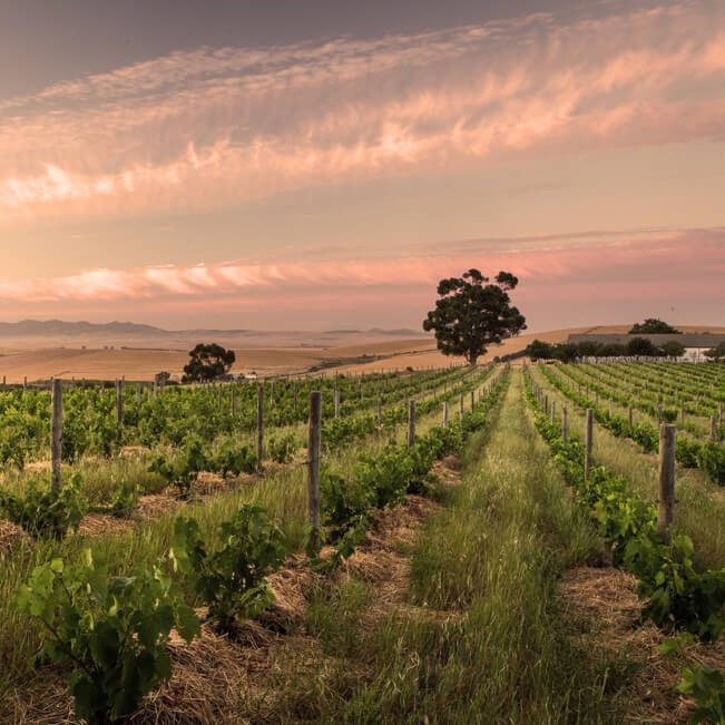 luminescent cirrus clouds stretch across a rosy sky at sunset above rows of grapevines, a few trees, and rolling hills in the distance