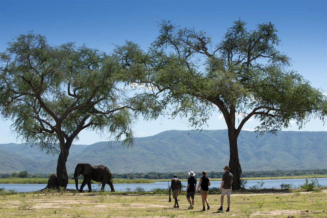 people walking with an elephant near a tree in the background in mana pools national park