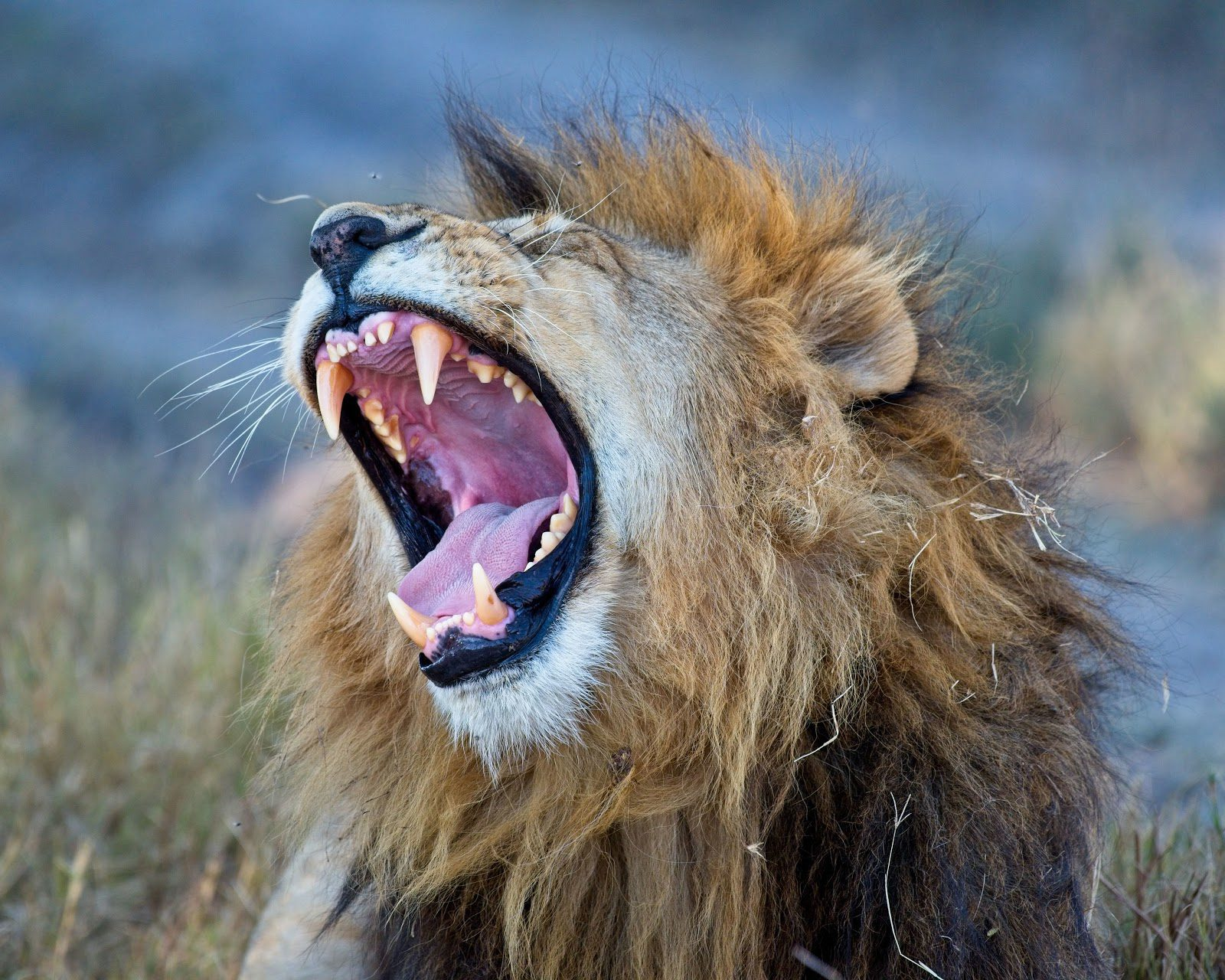 Lion with wide open mouth yawning with yellow grass surrouning it