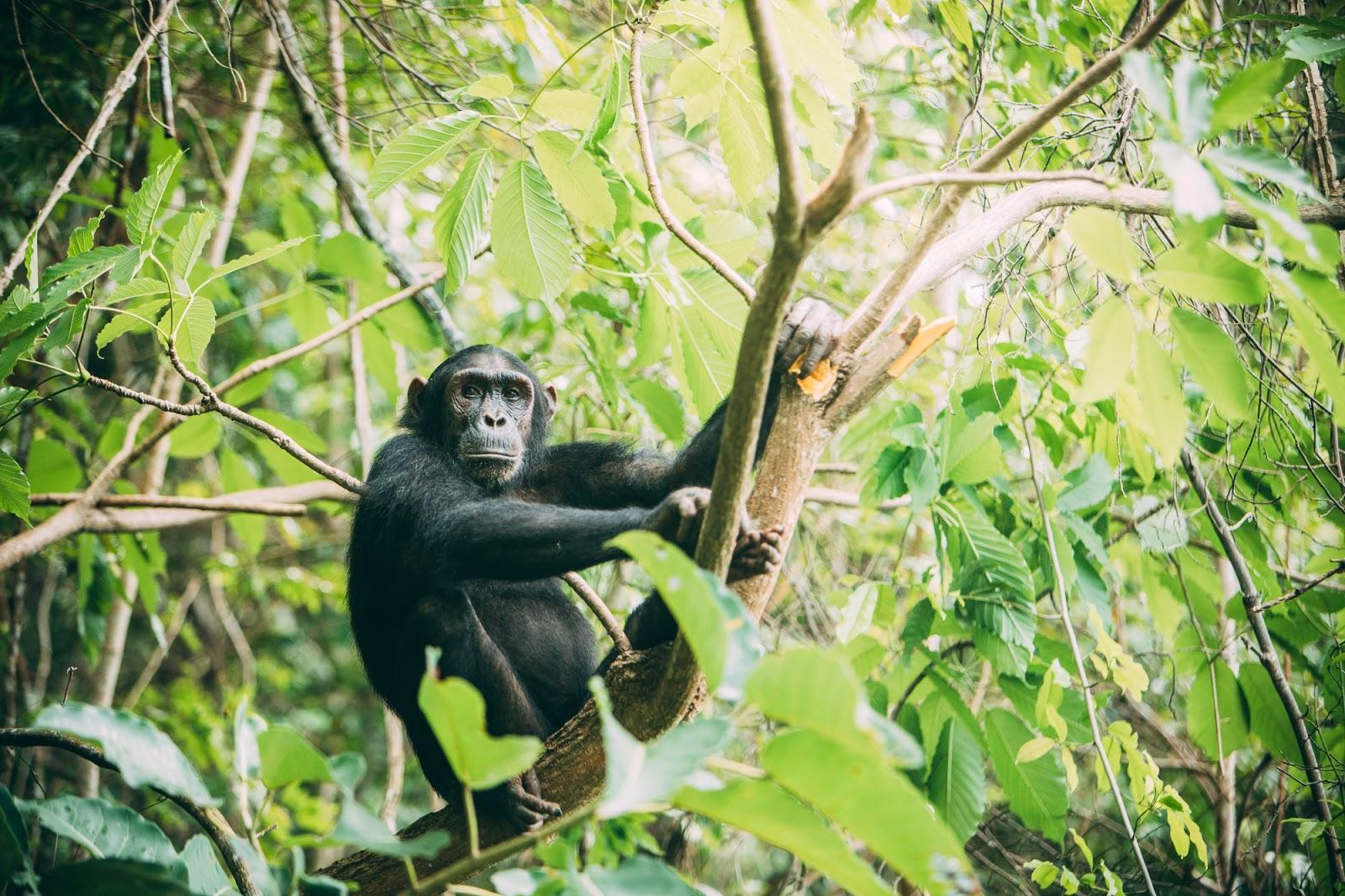 chimp holding onto branches in a green canopy of trees