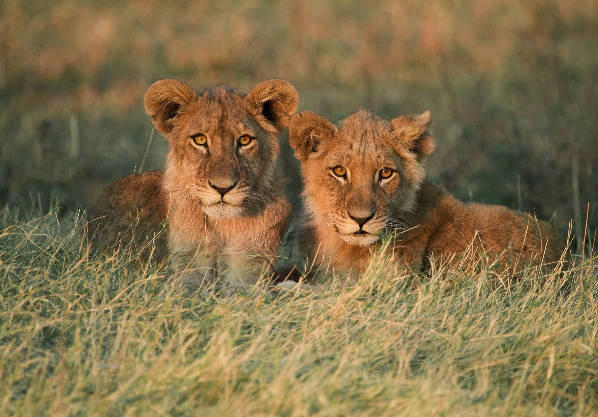 two lions lying in the grass