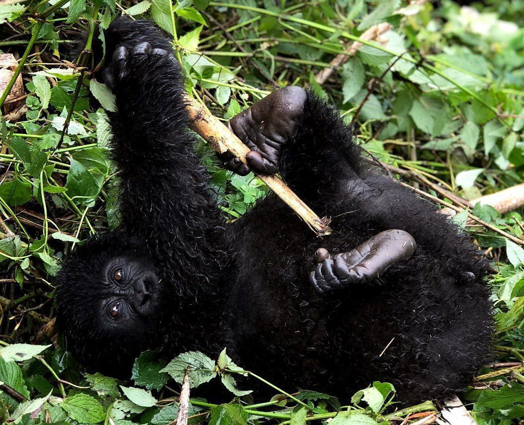 baby gorilla laying in the grass holding a stick facing camera seen on luxury Uganda Safari