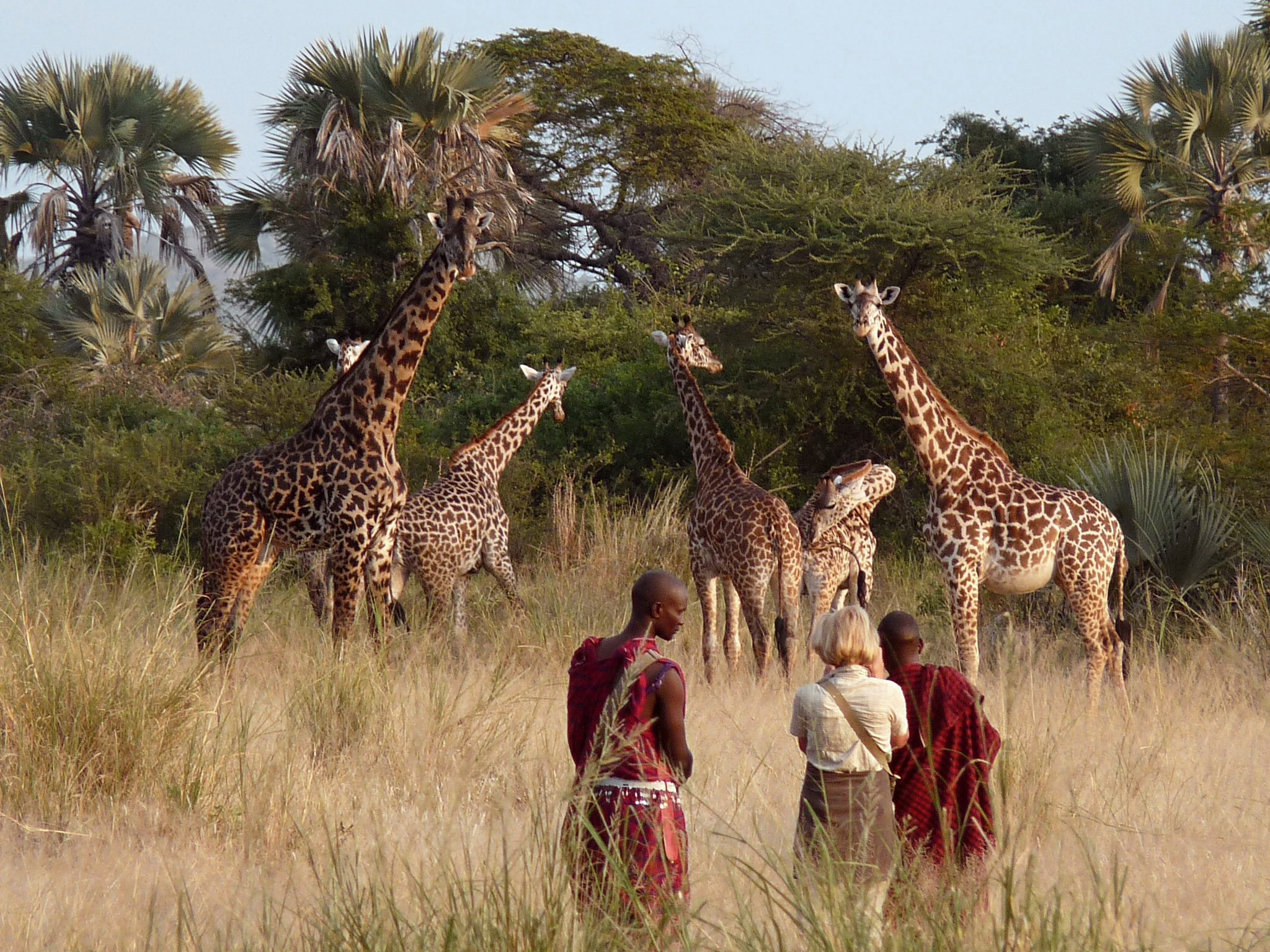 guest on foot with two Maasai guides taking a photo of our tower of giraffes on our luxury Tanzania safari