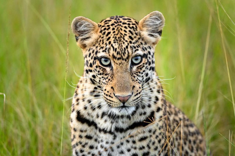 leopard in the grass at Magashi Camp on best Rwanda safari