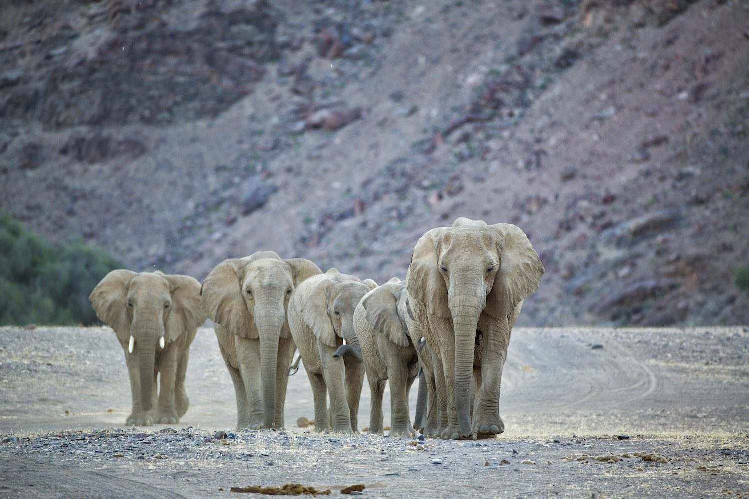 Desert Elephants hoanib valley camp namibia on this Southern Africa conservation safari