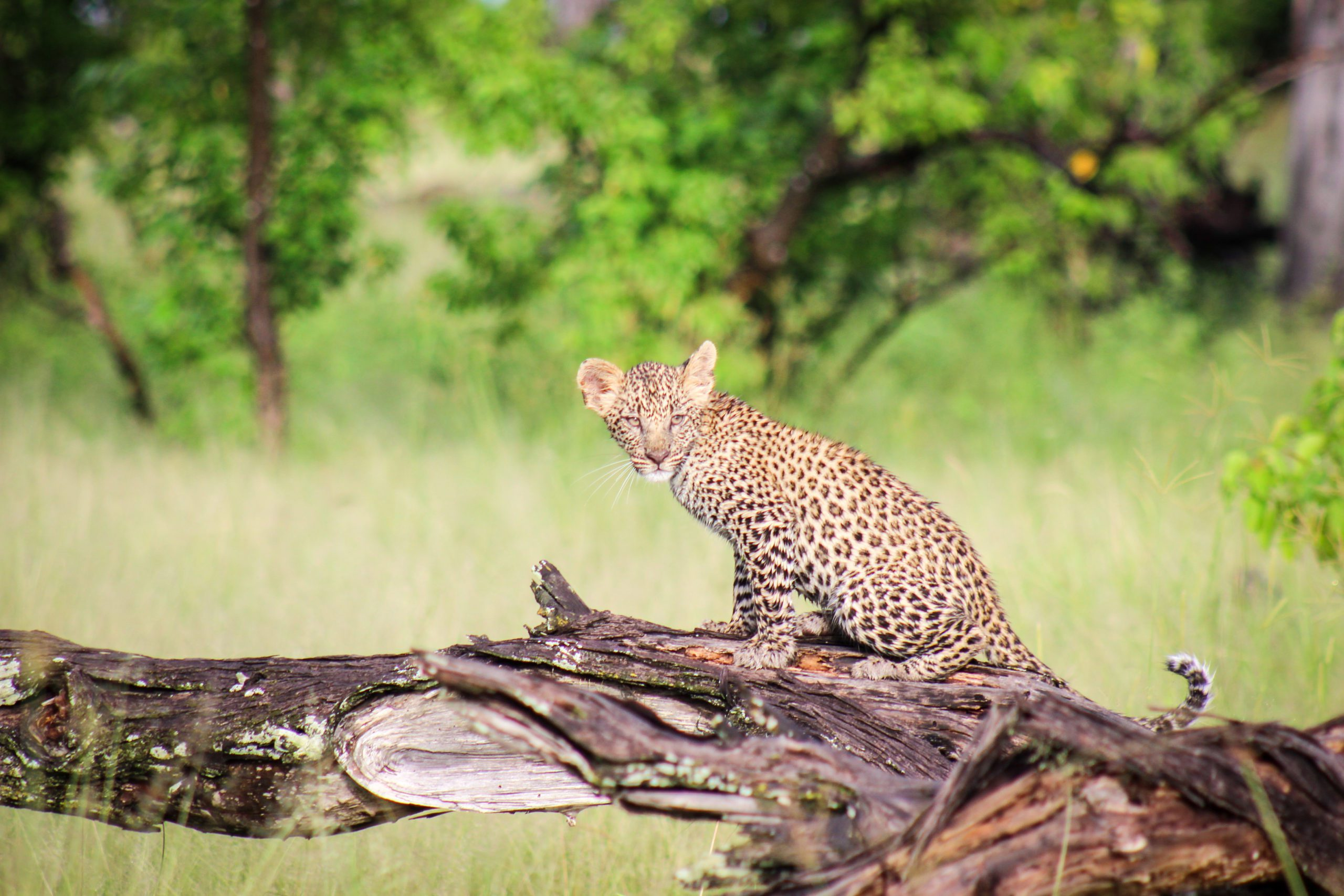 Baby Leopard sitting on a tree branch