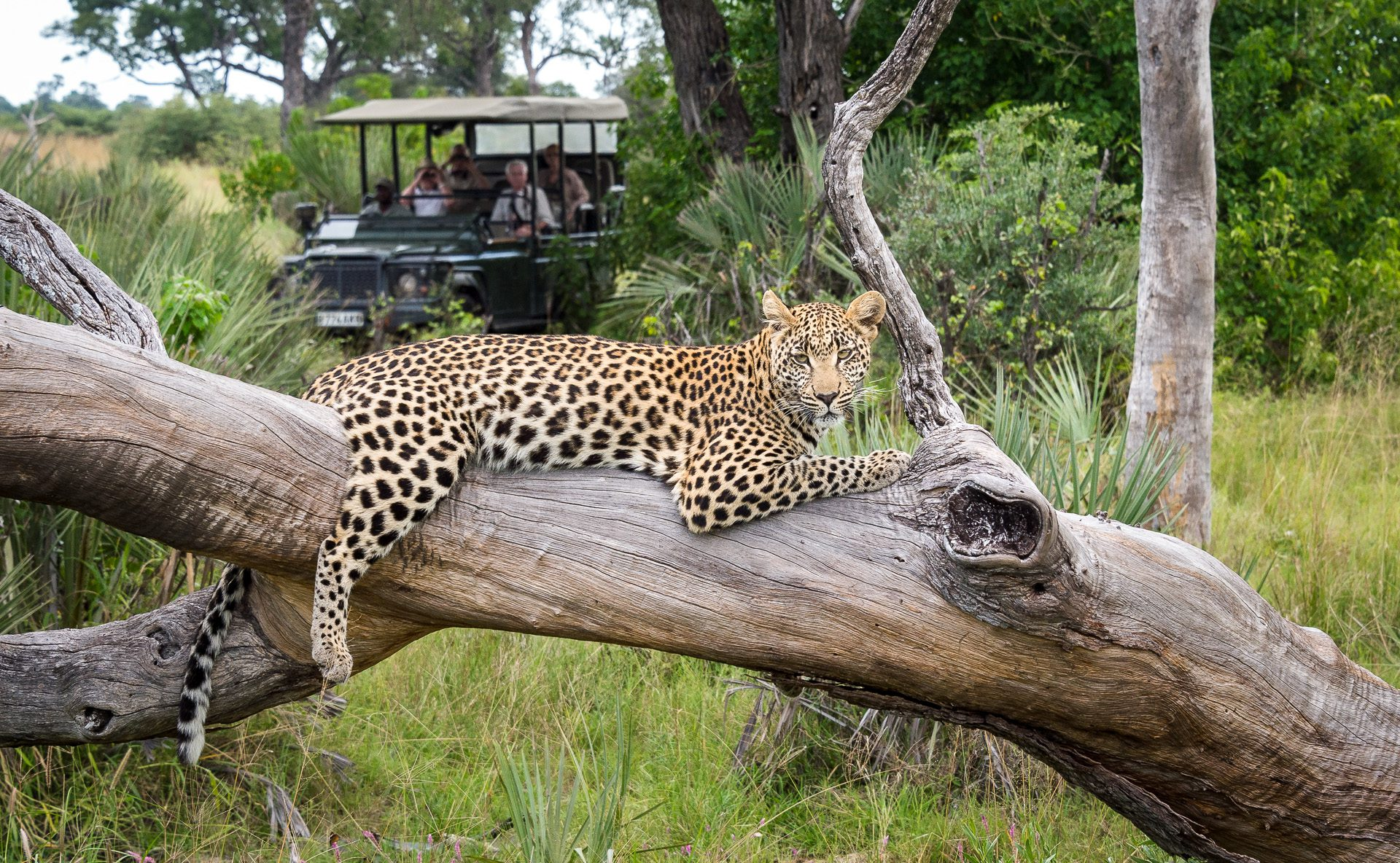 seba camp game drive with guests observing a leopard in a tree on the best botswana safari
