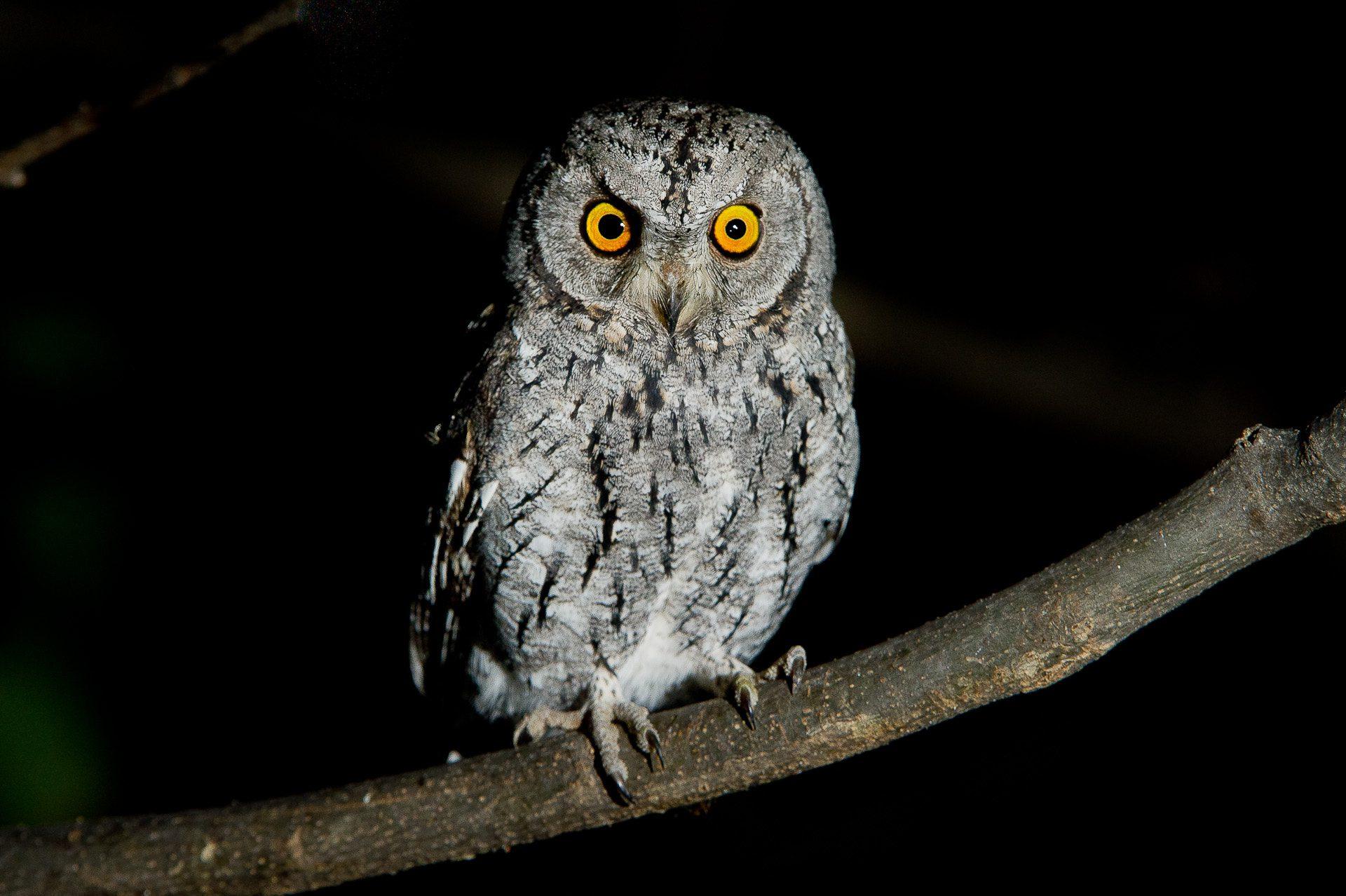 owl on a night game drive safari vumbura plains botswana