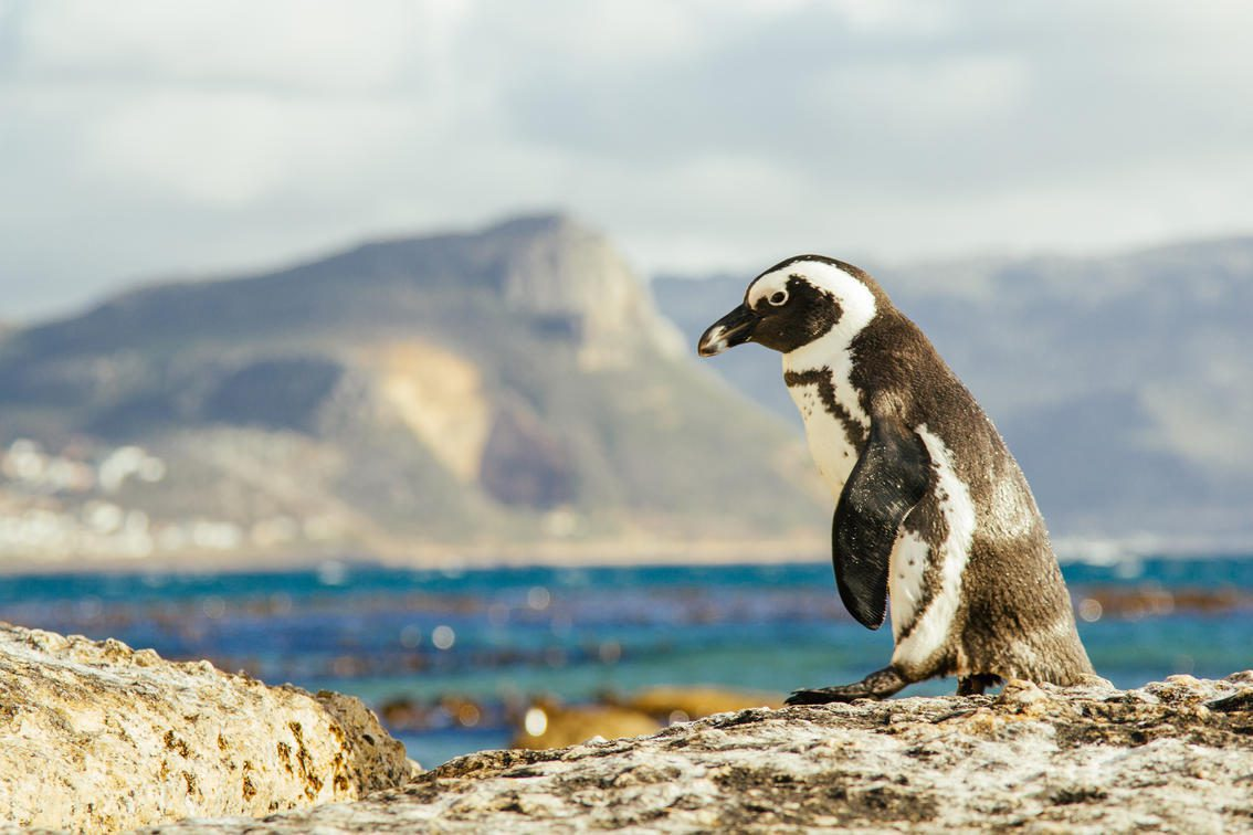 penguin standing on a rock with blue water behind