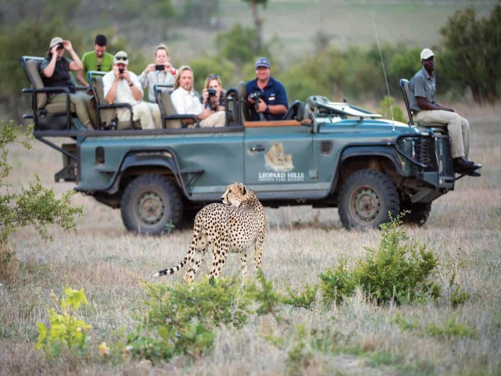 cheetah walking in front of a safari vehicle with guests