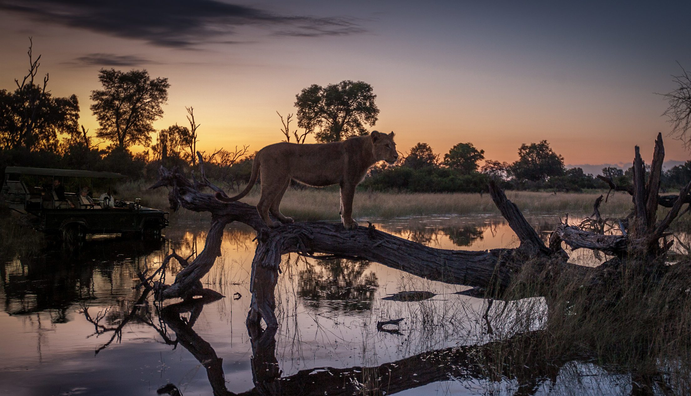 Chitabe Camp Okavango Delta leopard walking along fallen tree over water on the best botswana safari