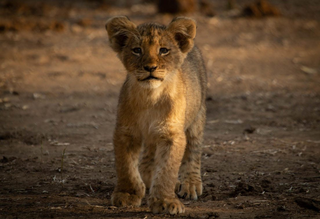 lion cub facing the camera on this luxury Southern Africa safari