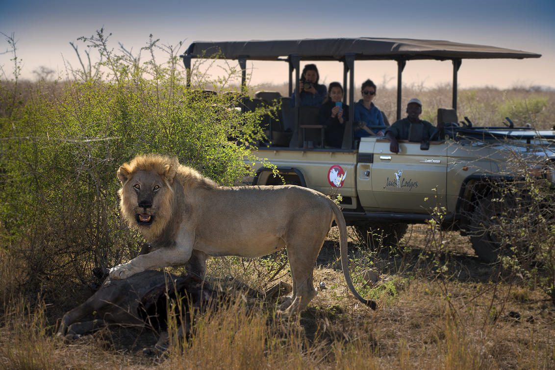lion standing over a kill in front of a vehicle on the best South Africa safari