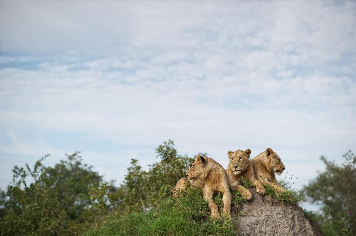 three lions sit on a rock about green shrubs
