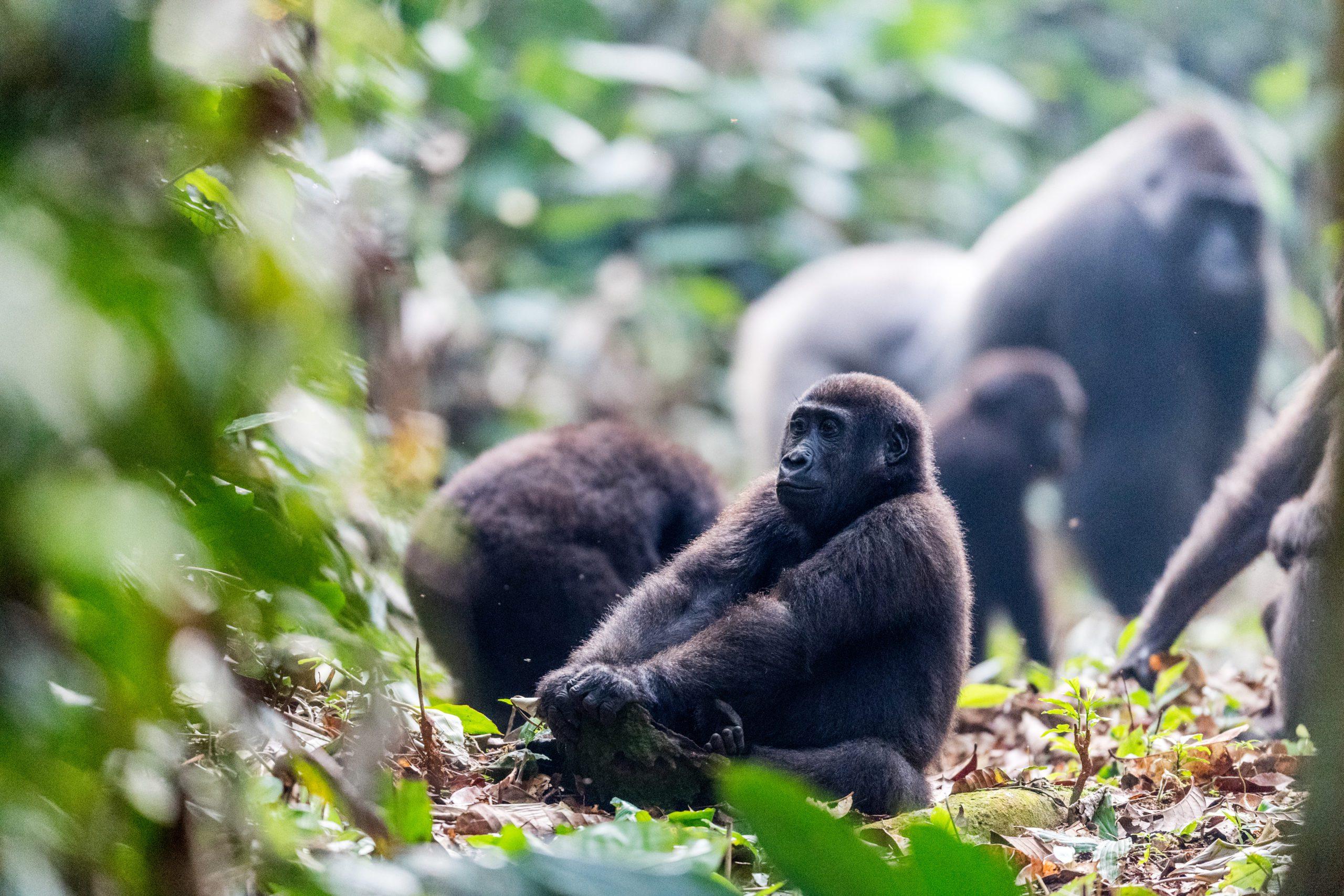 Congo Gorilla Ngaga Camp gorilla sitting with other gorillas