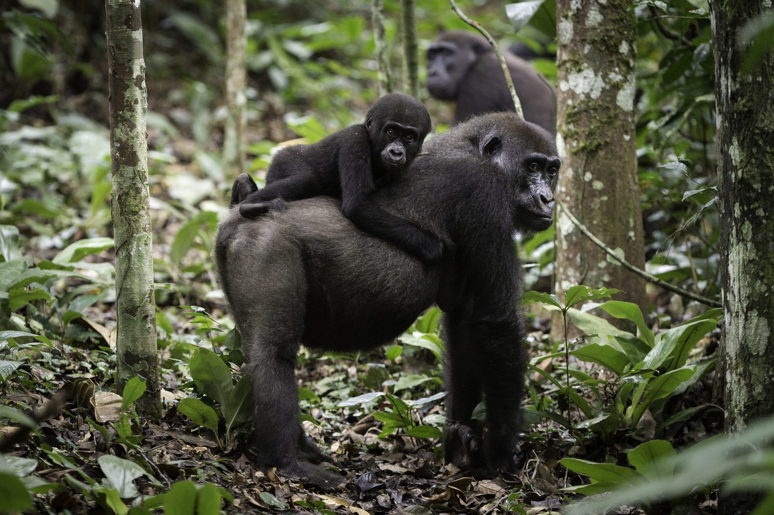 Congo Ngaga Camp Gorilla with baby gorilla on back