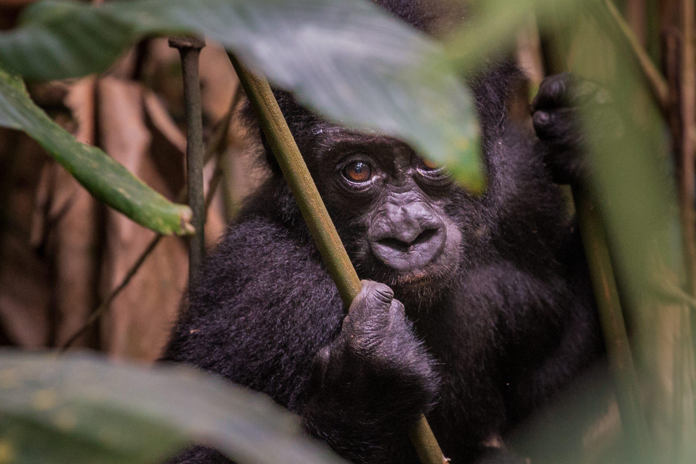 Odzala National Park - gorilla peeking through leaves