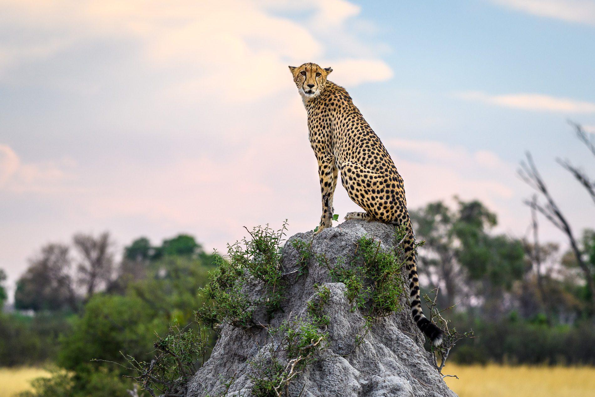 cheetah on a rock vumbura plains botswana