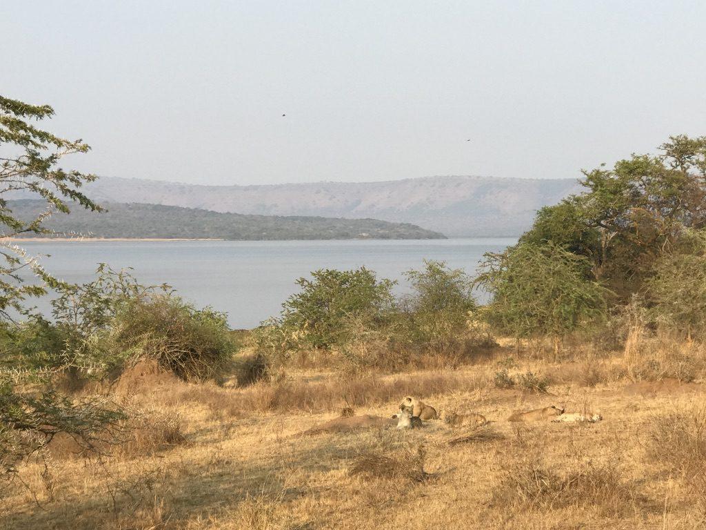 lion pride in open savanna overlooking lake in Akegera NP