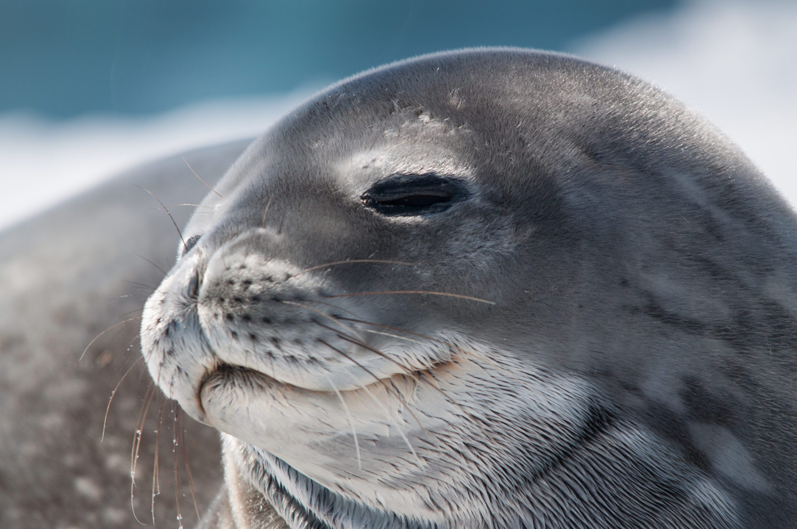 happy seal basking in the sun on the Antarctic Peninsula