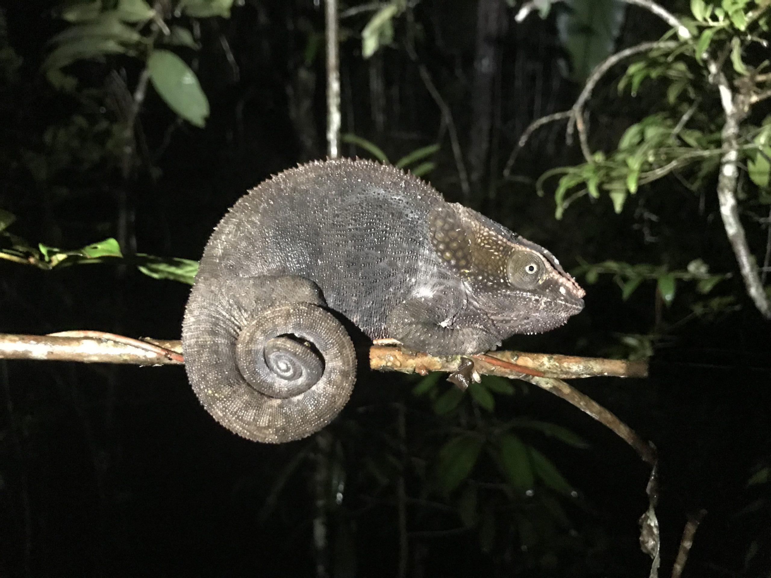Chameleon in tree during night walk at Andasibe