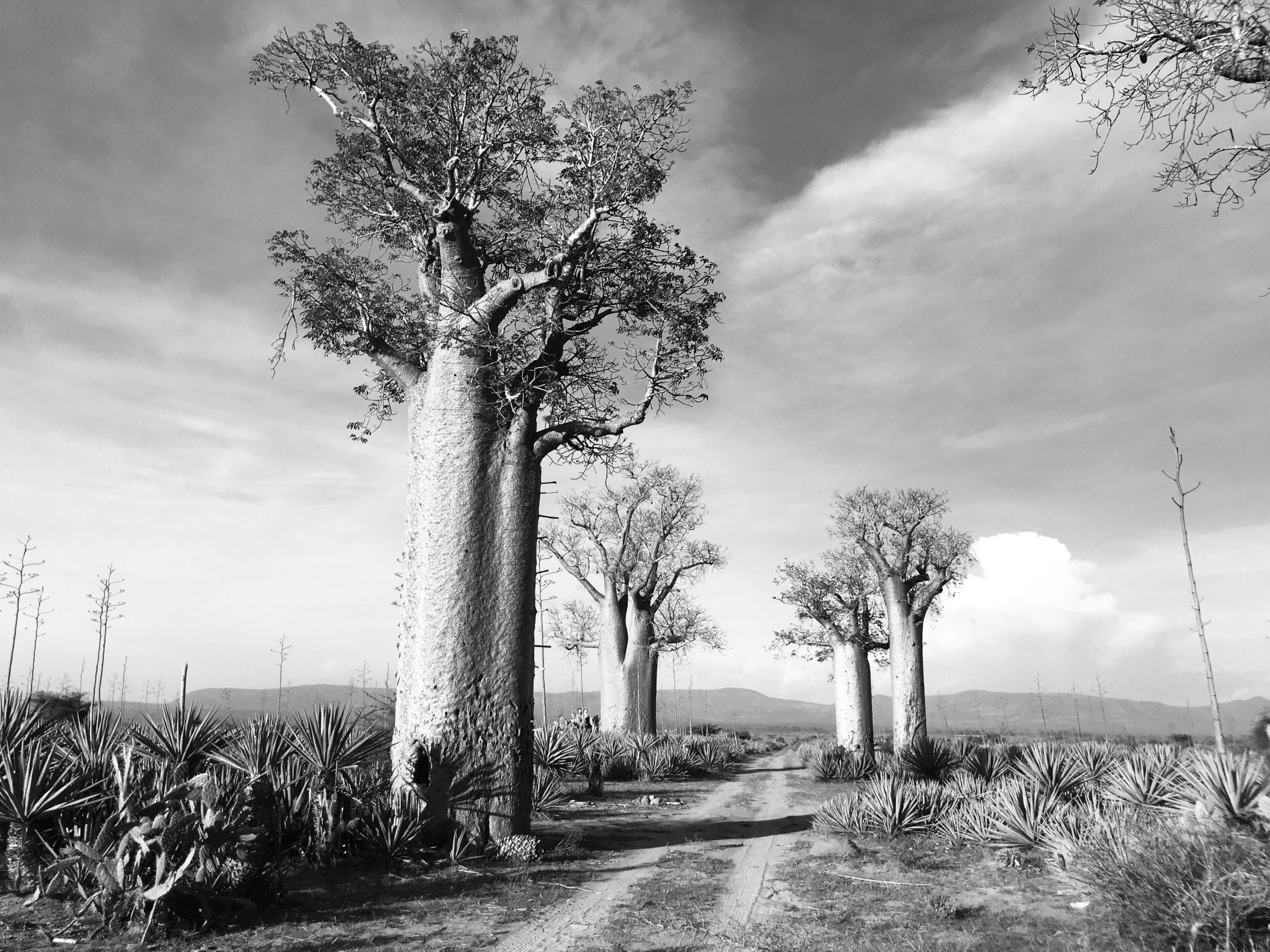 Baobabs at Mandrare
