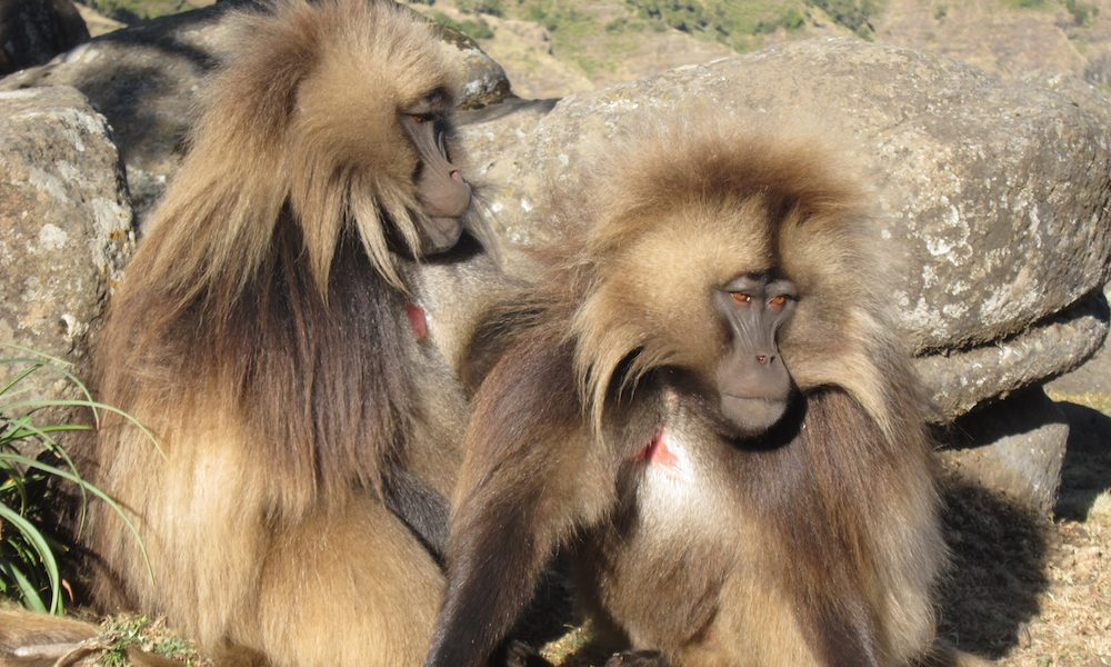 two gelada baboons gazing out in the simien mountains sittng next to one another
