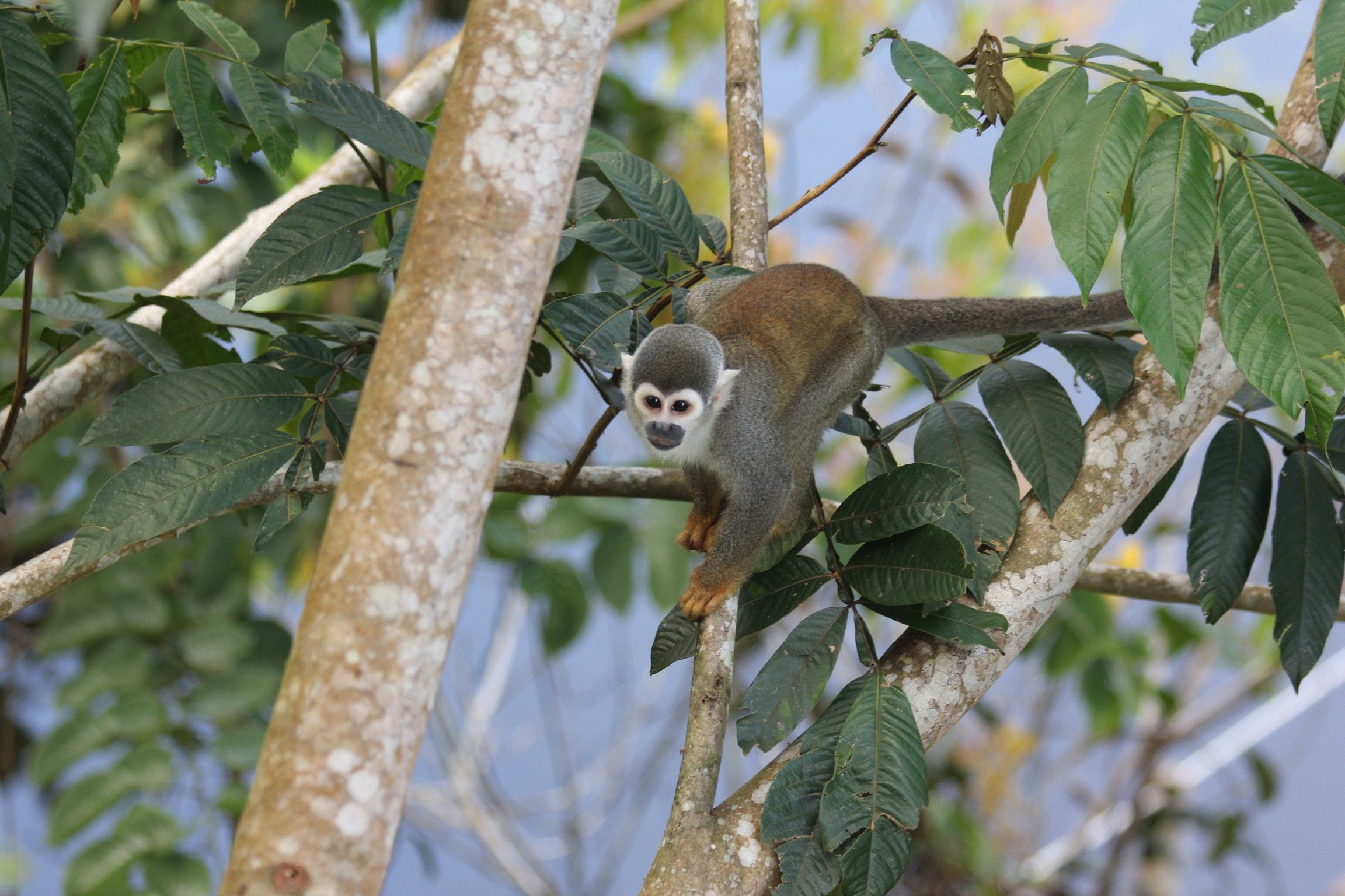 Monkey in tree in Ecuador Amazon