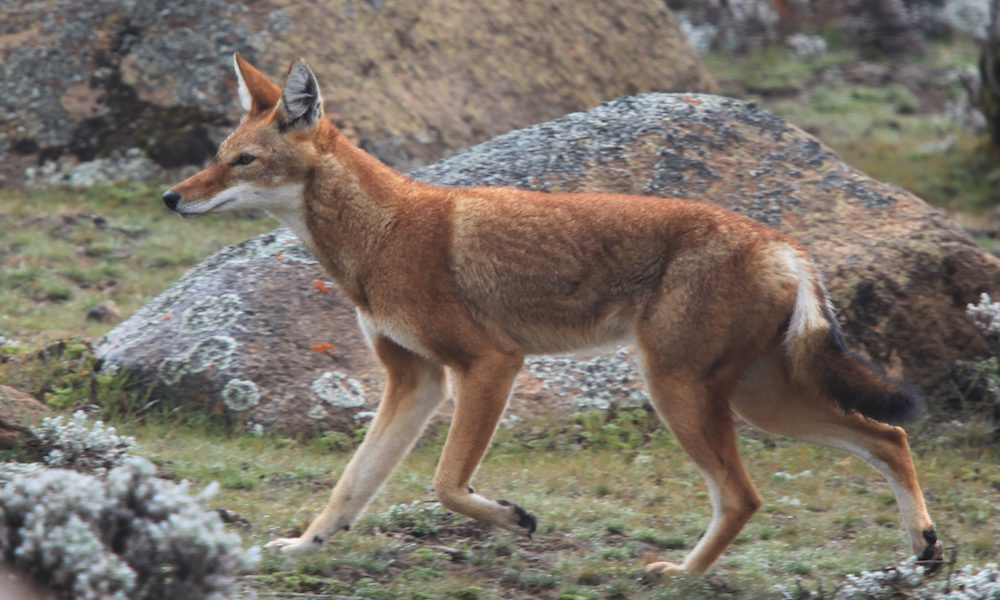 red Ethiopian fox standing alert in the Bale Mountains