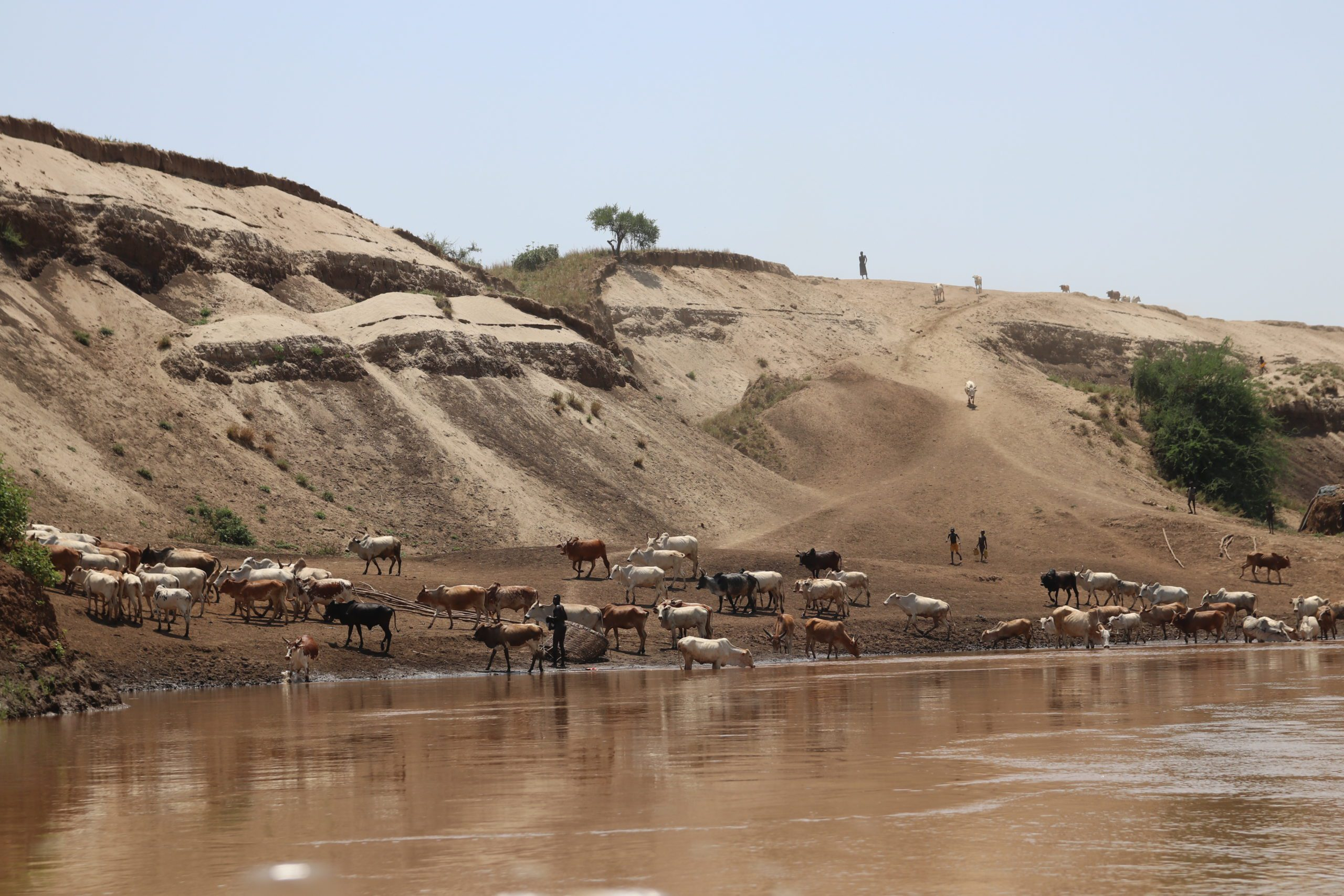 brown omo river with cows drinking from the base with the sandy hilly banks behind them