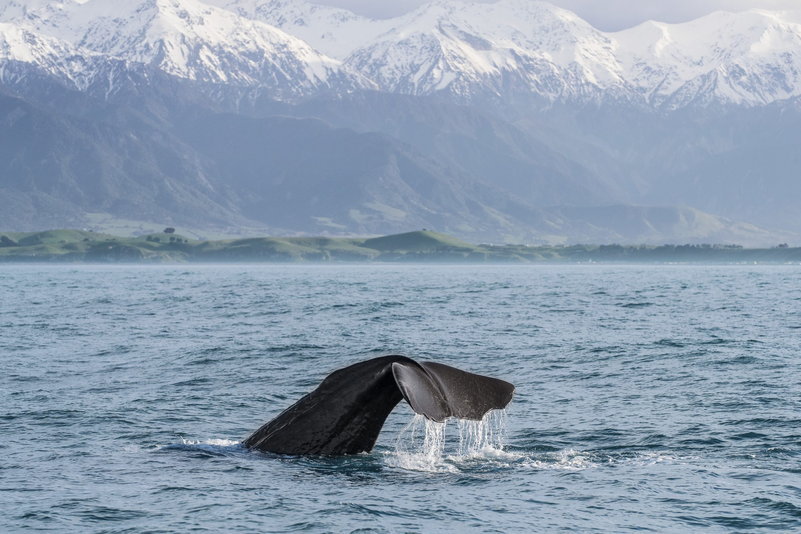 whale tale off the coast of kaikoura