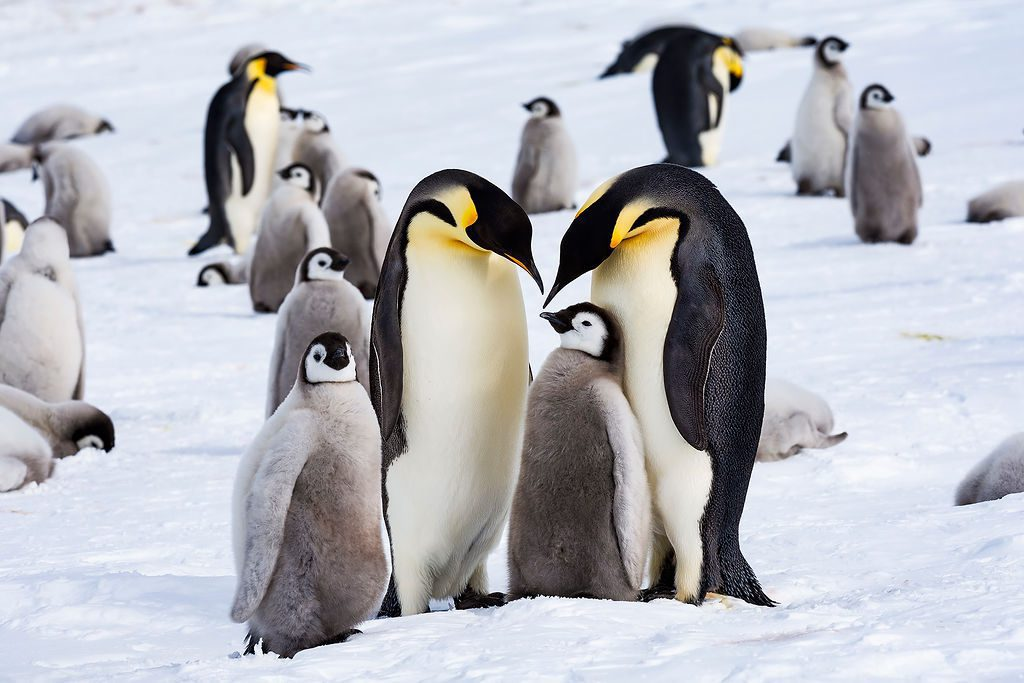 emperor penguins and their chicks huddled on the ice in Antarctica