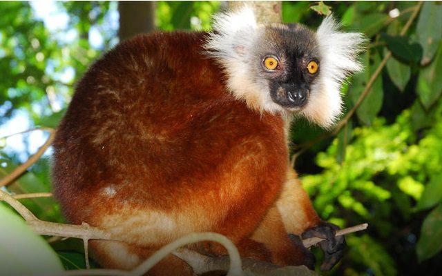 Lemur at Nosy Komba
