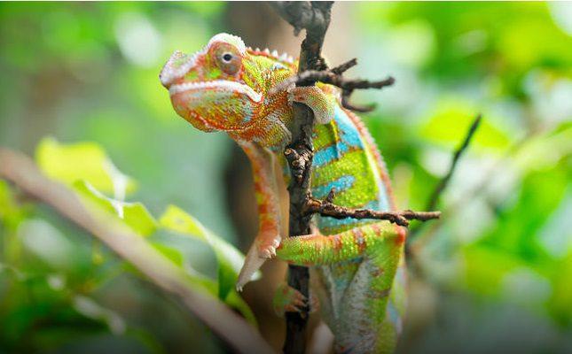 Chameleon at Nosy Mitsio