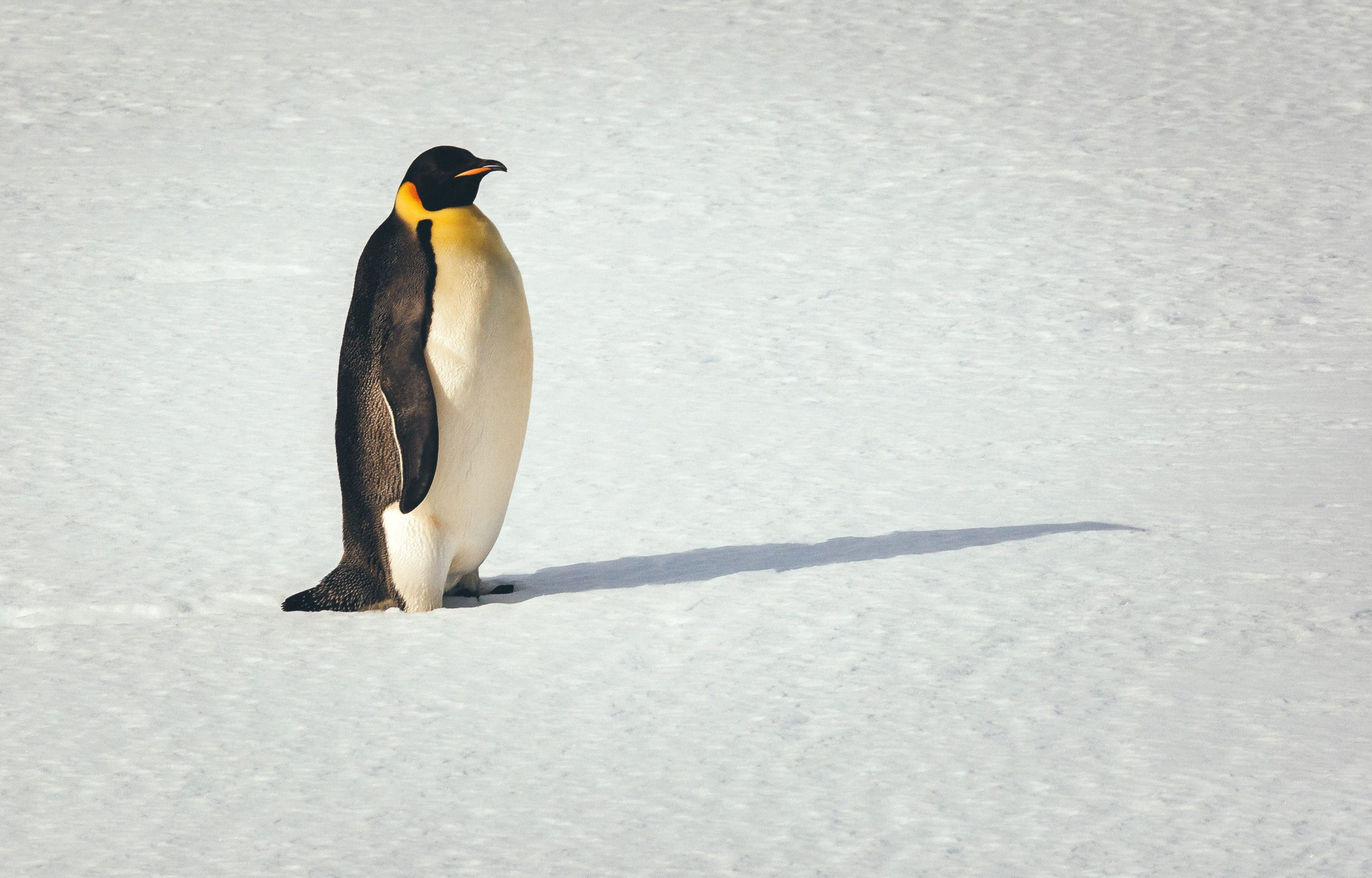 emperor penguin walking across the snow