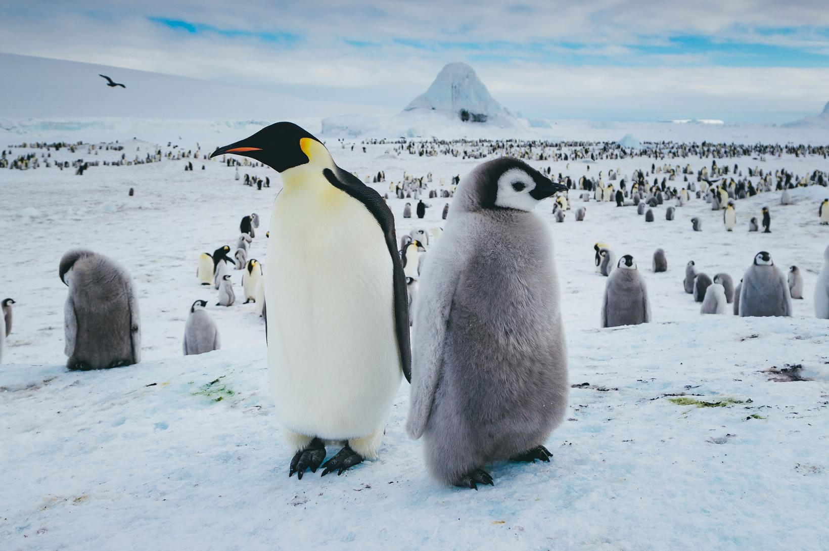 adult and adolescent Emperor penguin standing back to back in a colony of penguins on Snow Hill Island
