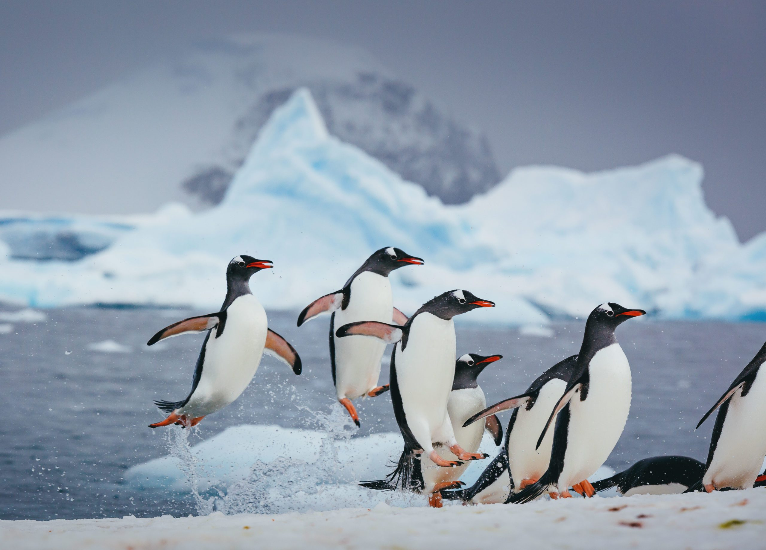 penguins returning to the shore after an icy swim in the Antarctic waters