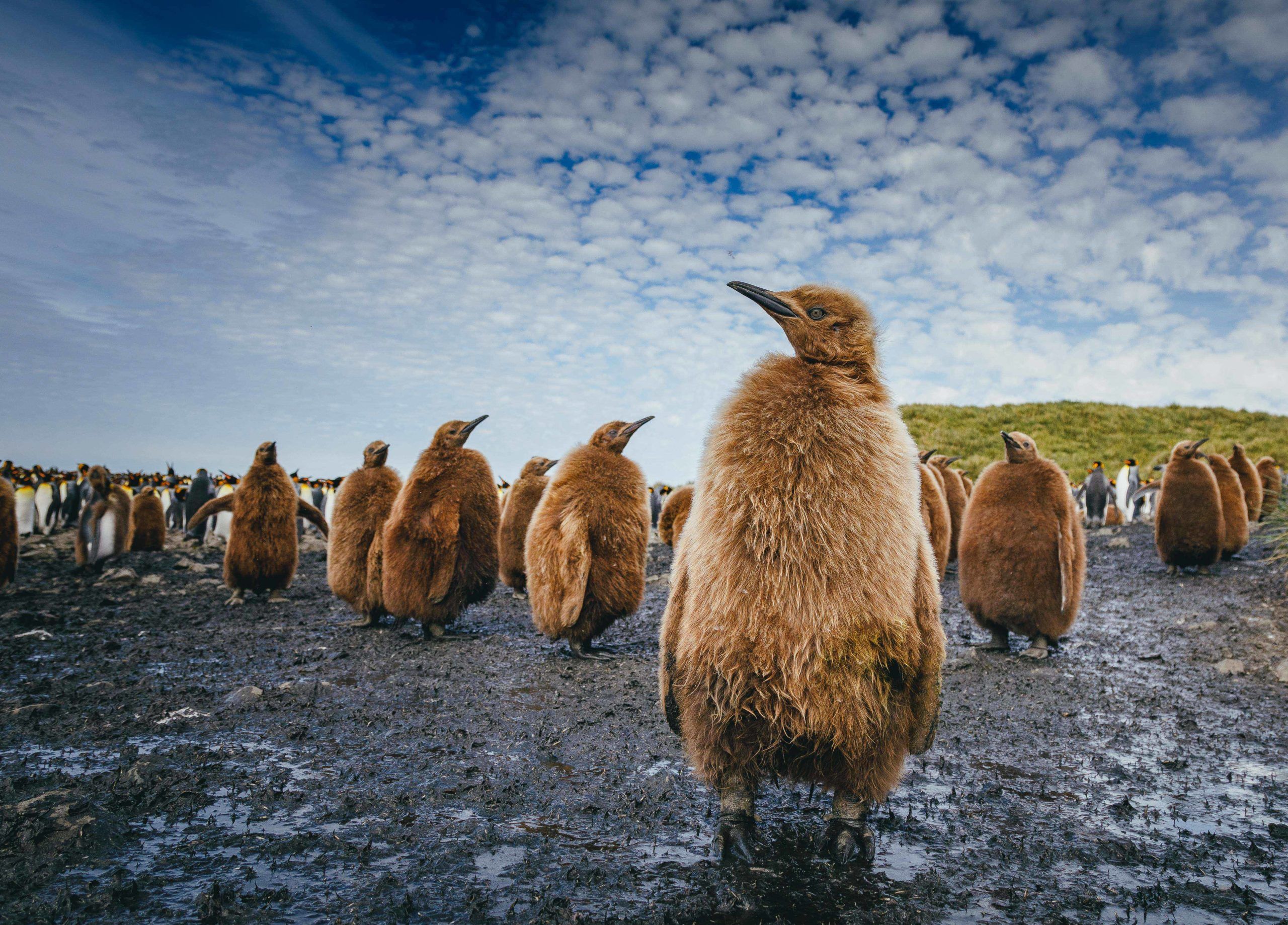 spaced out colony of brown fluffy King penguin chicks standing curiously in the mud