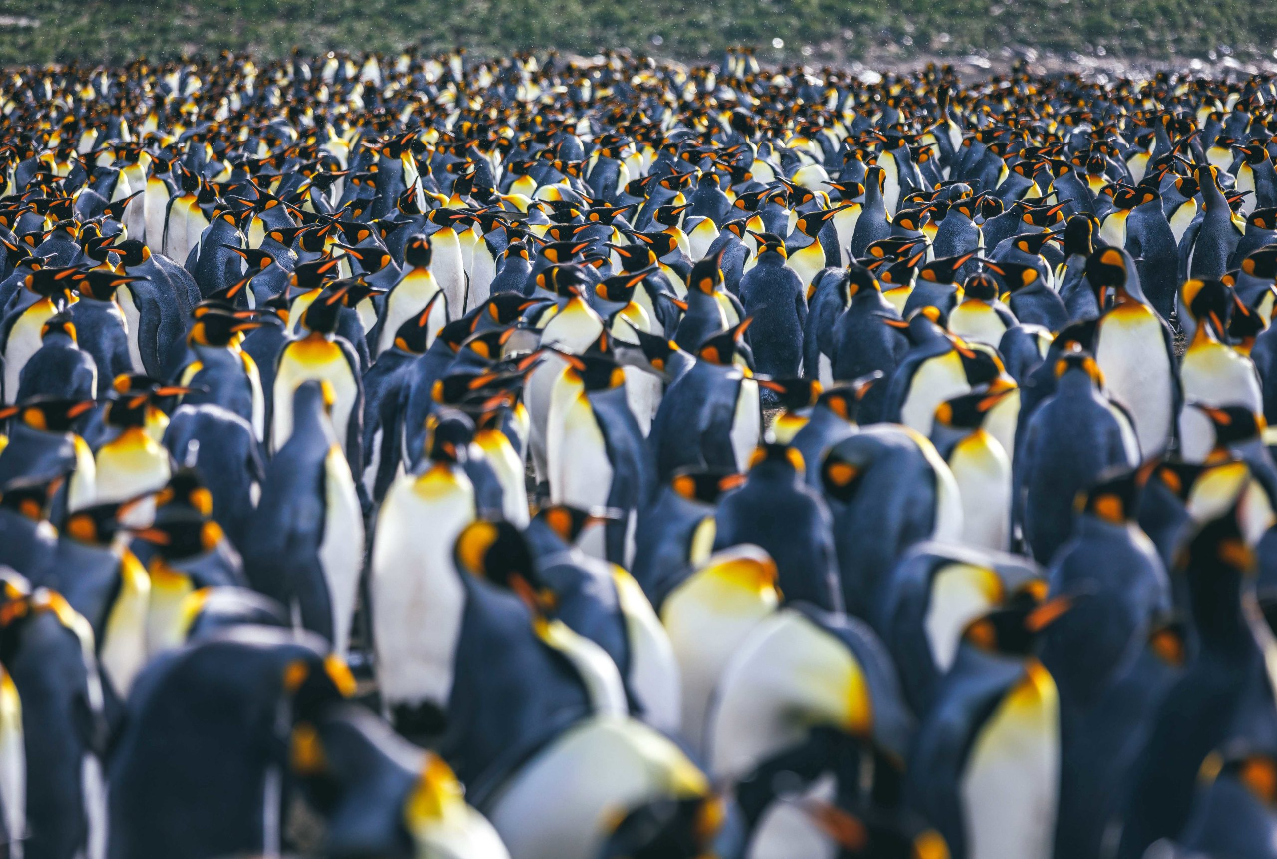 close up of King penguin colony packed together