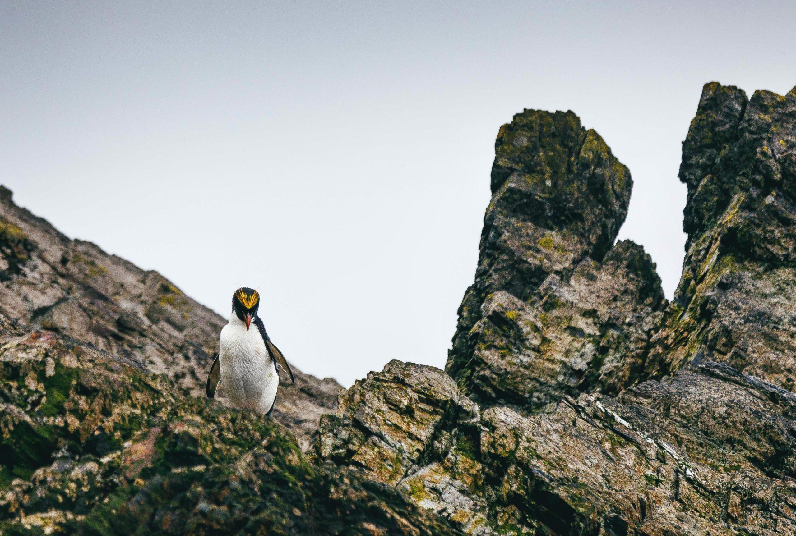 lone macaroni penguin walking across a rocky outcrop