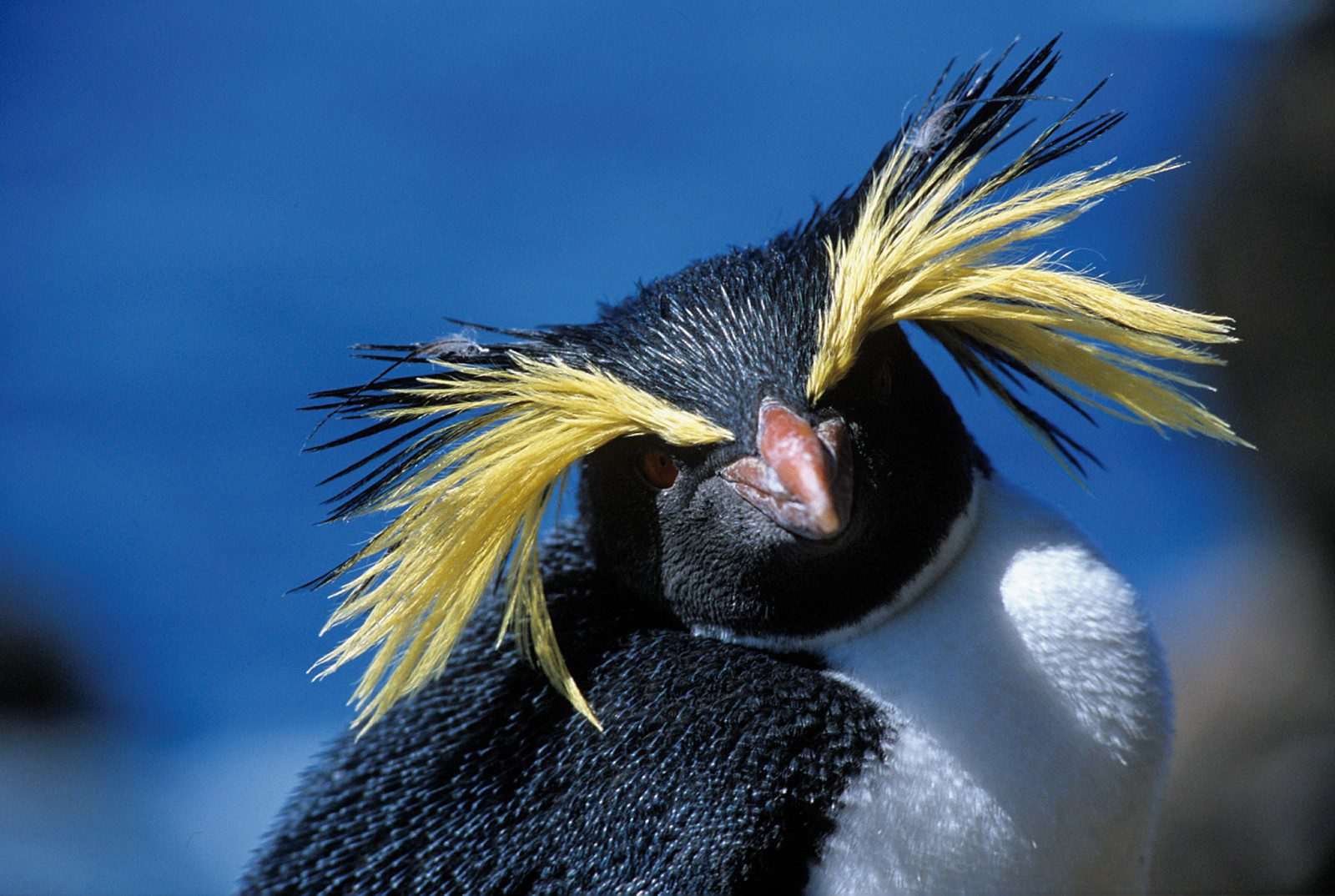 a curious Rockhopper penguin of the Falkland Islands with long yellow feathers comically splayed from its eyes