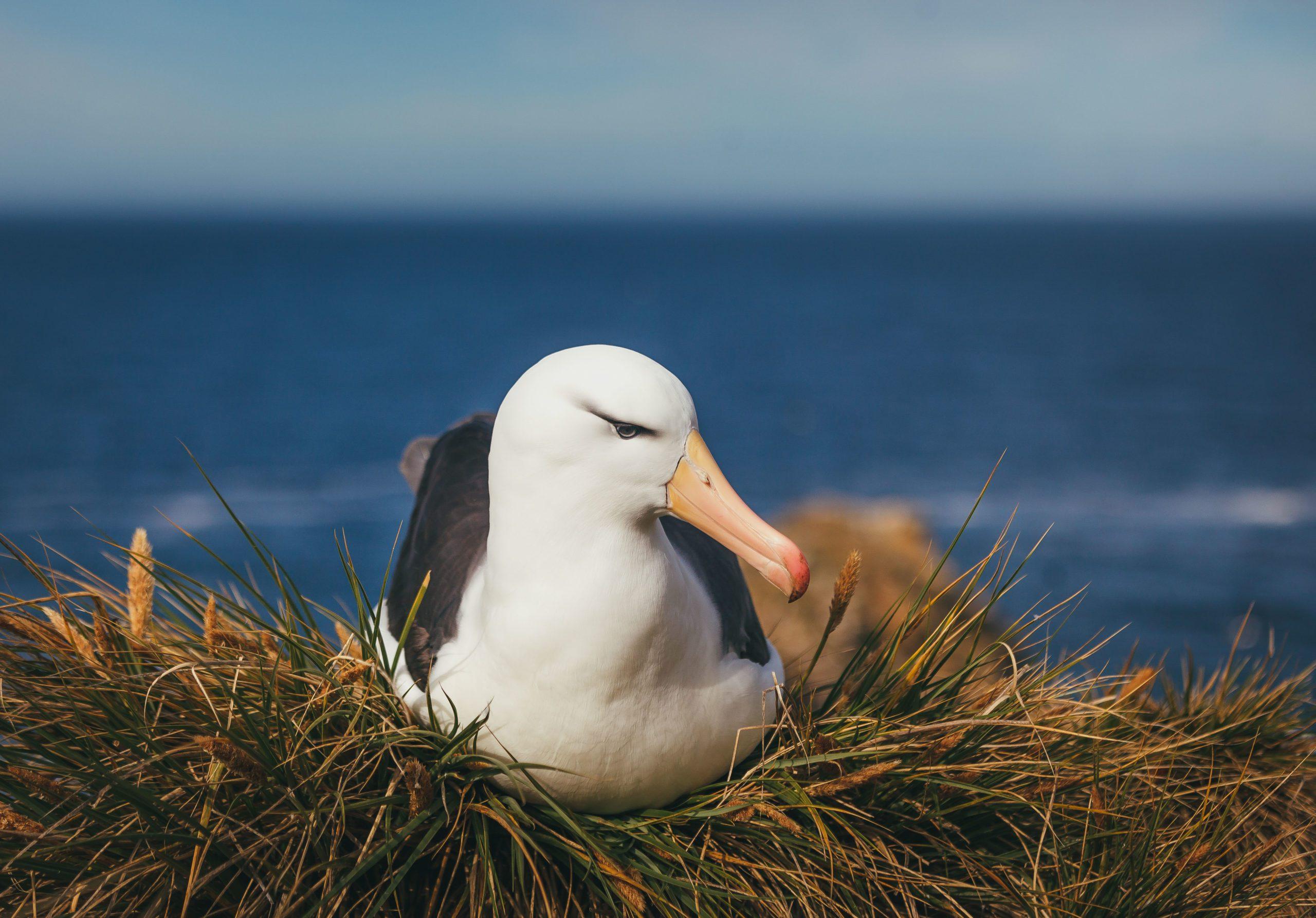 close up of black browed albatross nesting on the Falkland Islands