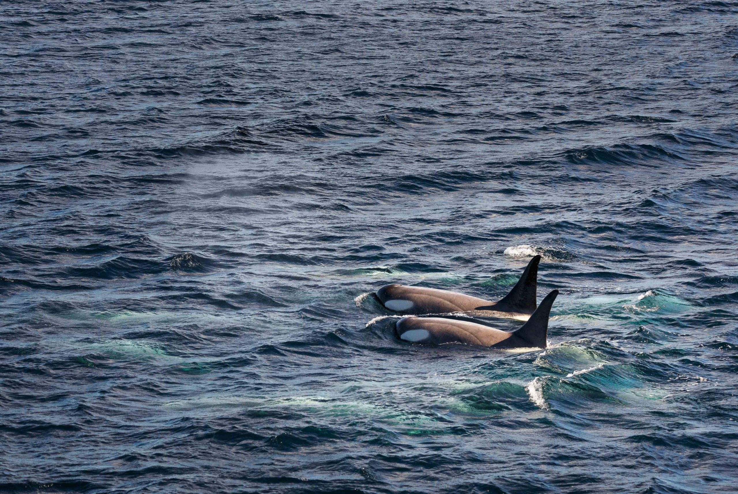 two orcas swimming side by side and surfacing in the waters of Antarctica