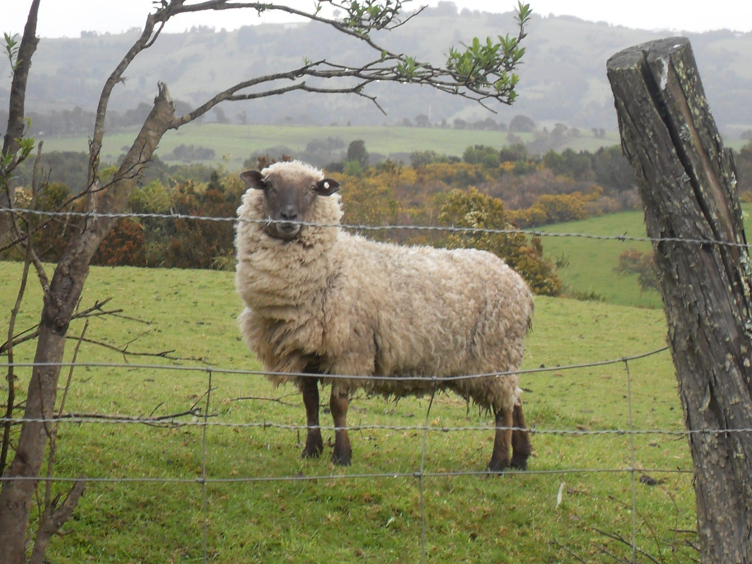 sheep on farmland in Chiloe