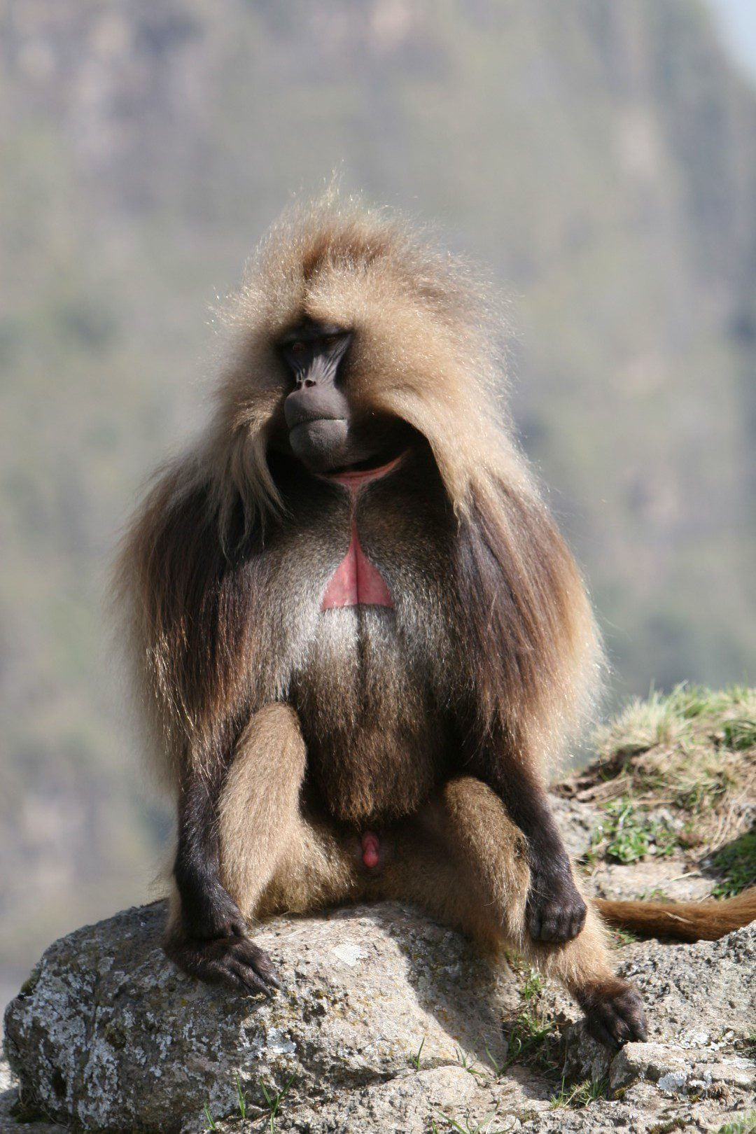 one gelada baboon sitting by themself on top of a rock in the simien mountains