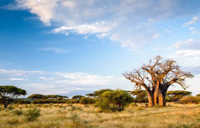 baobab tree in open plain backed by forest