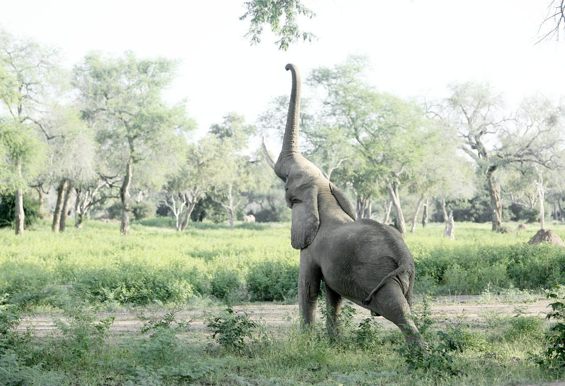 elephant reaching for a pod on a branch just above the reach of its trunk in a green open field seen on an Africa safari