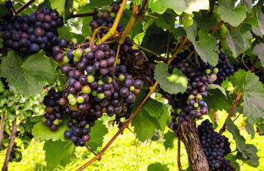 red grapes on the vine in Millahue